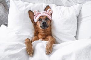 En estas sociedades la tenencia de mascotas es una práctica muy común. Y no solo tienen animales para compañía, sino que tienen conductas muy afectivas para con ellos. Son bastante parecidos a lo que hacemos en la cultura occidental: les ponen nombres, los crían —si fuera necesario, los amamantan—, los protegen y los lloran después de la muerte